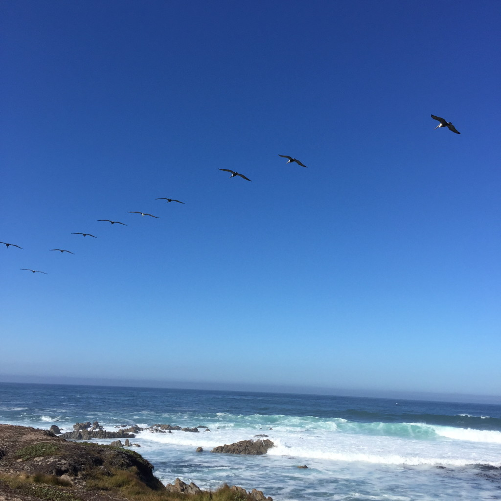 Pelicans, Pacific Grove, California // photo: VAN BRITT